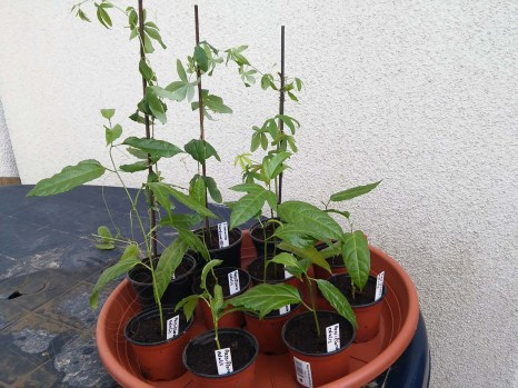 passiflorastecklinge