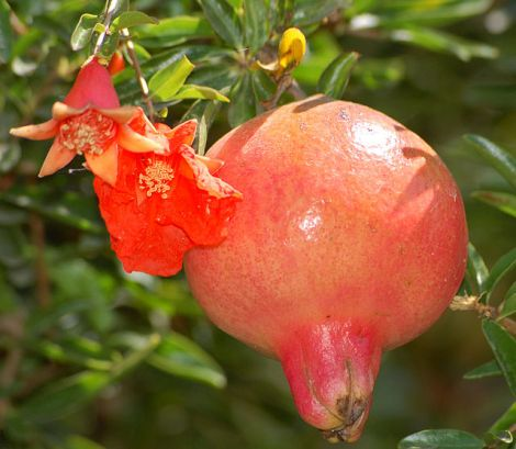 640px-Pomegranate_flower_and_fruit