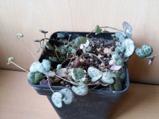 Ceropegia_woodii_110415_1