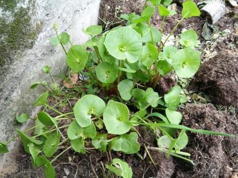 Claytonia_perfoliata1