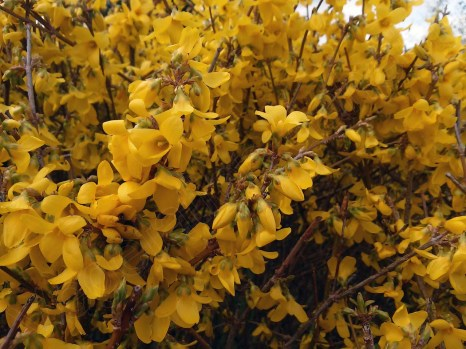 forsythia_x_intermedia