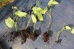 passiflora_ligularis_stecklinge_100515_5