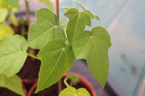 passiflora_foetida_04