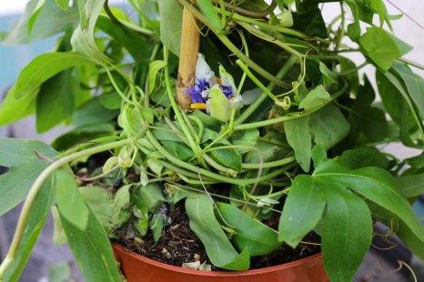 passiflora_150715_2