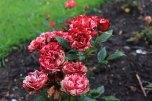 rosarium_winschoten_06