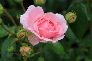 rosarium_winschoten_12