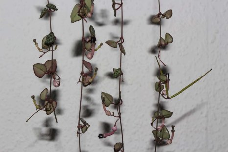 Ceropegia_woodii_200915