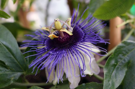 passiflora petra