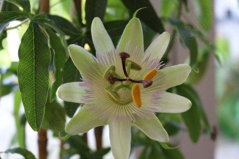 passiflora_constance_elliot