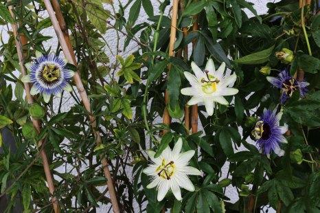 passifloras1