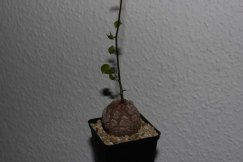 dioscorea_elephantipes_3