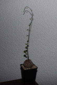 dioscorea_elephantipes_4