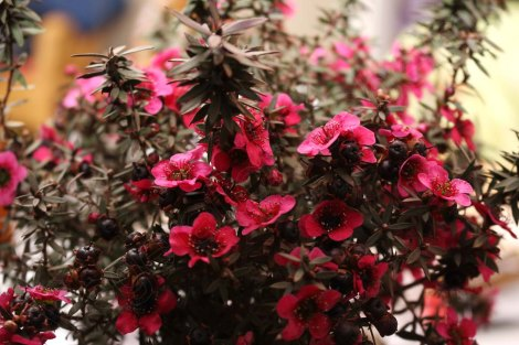 Leptospermum_scoparium_Red_Damask_1