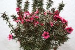 Leptospermum_scoparium_Red_Damask_2