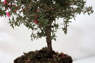 Leptospermum_scoparium_Red_Damask_4