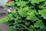 pelargonium_odorata_frucht