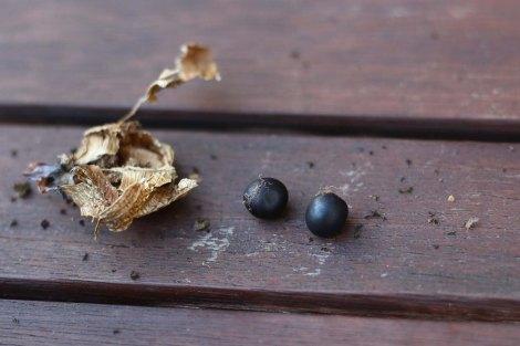 Reife Frucht von Canna indica mit Samen