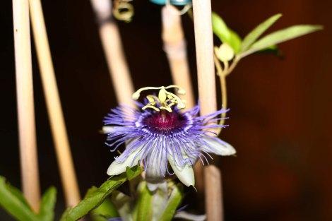 Passiflora 'Petra'