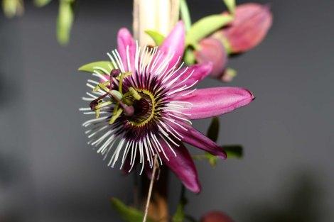 passiflora_violacea