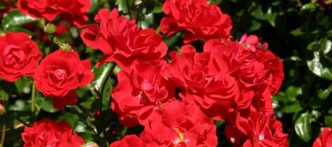 die Grugaparkrose von Rosen Tantau