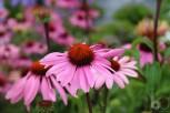 echinacea_purpurea