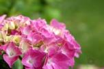 hydrangea_macrophylla