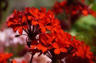 Pelargonium_(10)