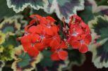 Pelargonium_(11)