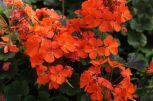 Pelargonium_(12)