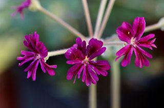 Pelargonium_(13)