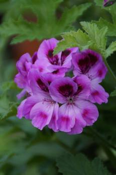 Pelargonium_(15)
