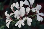 Pelargonium_(3)