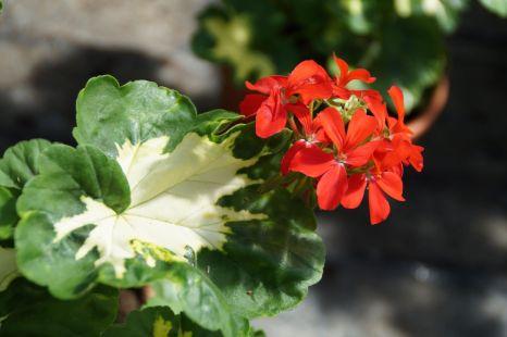 Pelargonium_(6)