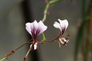 Pelargonium_(7)